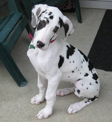 black and white great dane puppies 50 great dane puppy images and pictures