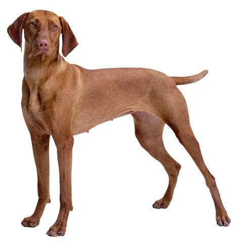 dogs that are with brown png clipart best web clipart