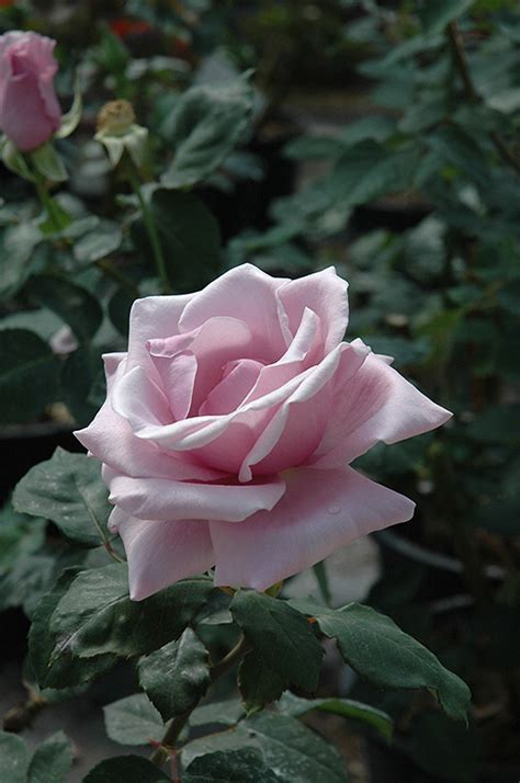 flower cottage columbus nc 1000 images about novel shades of purple roses on