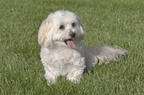 Maltipoo Shed by Maltipoo Crossbreeds Dogzone