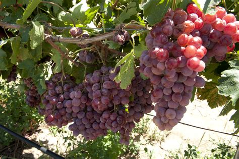 Table Grapes by Table Grapes Agriculture And Food