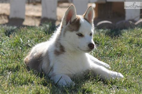 siberian husky puppies for sale in los angeles 17 best images about puppies on siberian husky puppies border collies and