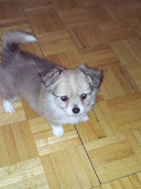 free chihuahua puppies michigan blue merle chihuahua michigan haired chihuahua breeds picture