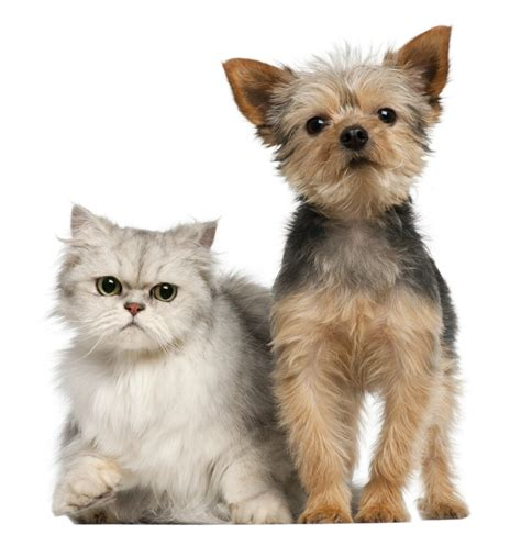 yorkie and cats four legged