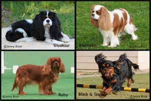 cavalier king charles spaniel colors cavalier capers day adelaide