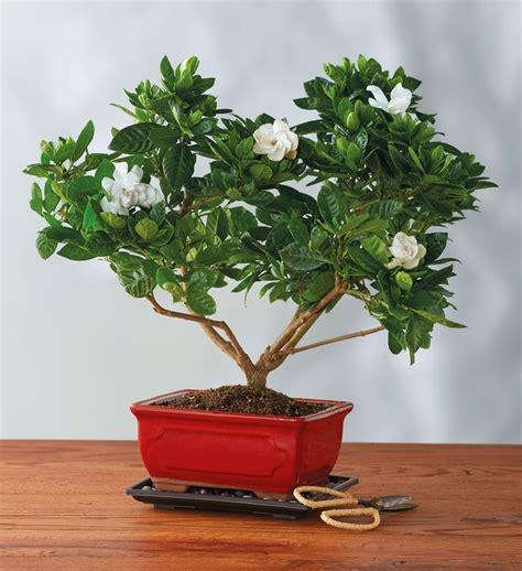 how do you bonsai christmas tree gardenia bonsai tree gift bonzai trees for sale harry david