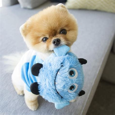 pomeranian boo puppy best pomeranian ideas on