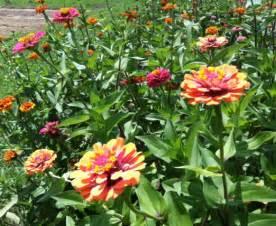 zinnias   garden johntheplantmans stories musings