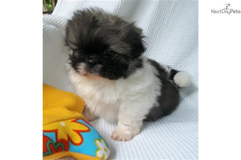 yorkie poo puppies knoxville tn pekingese puppies for sale in tennessee breeds picture