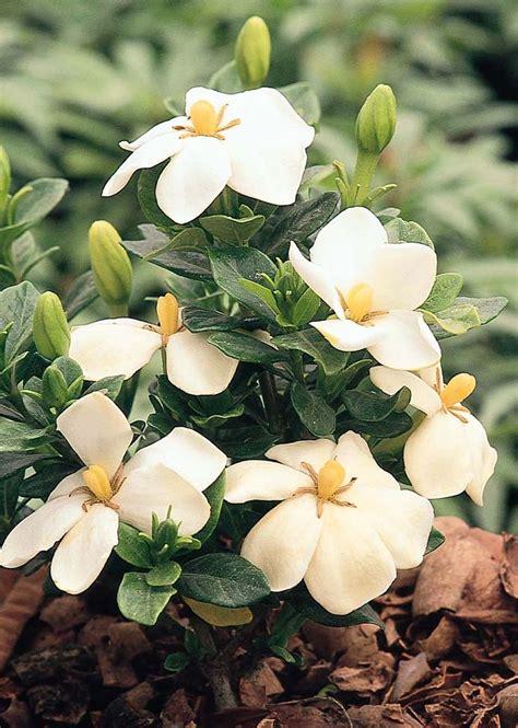 Gardenia Hardiness 17 Best Images About In My Garden On Velvet