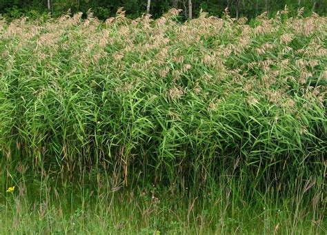 common reed grass southeastern wisconsin invasive