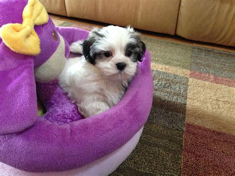 malshi puppies for sale in florida mal shi or maltese shih tzu puppies for sale in ocala florida quot saddie quot