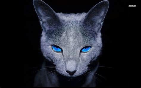 wallpaper blue cat russian blue wallpapers hd download
