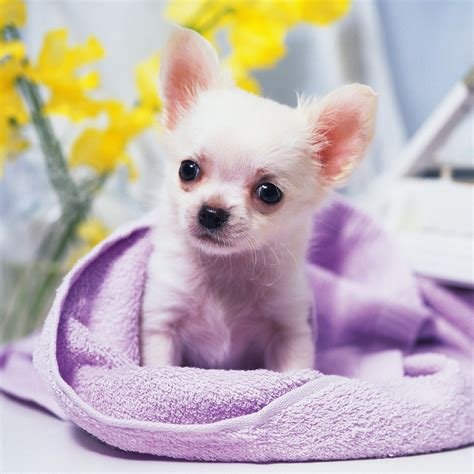 chihuahua puppies for free animals chihuahua puppy iphone hd wallpaper free