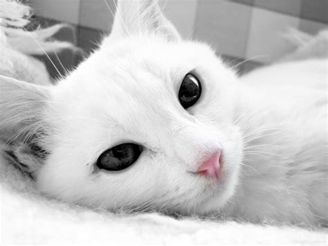 the white cat and white cat animal pictures