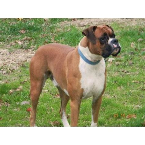 boxer puppies virginia s hilltop boxers boxer breeder in colmesneil listing id 14395