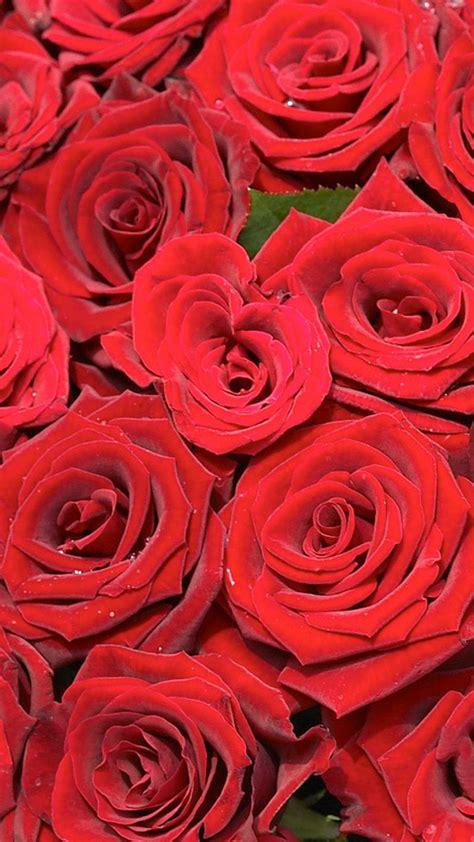 pink roses iphone 6 plus hd wallpaper iphone wallpapers beautiful red rose hd wallpaper iphone 6 plus