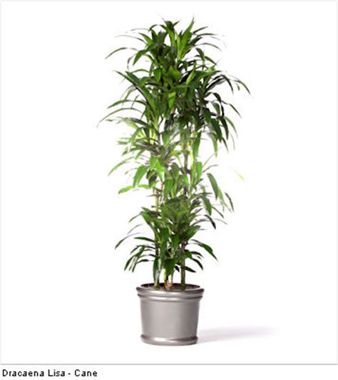 best tall indoor plants 5 tall indoor plants greener on the inside