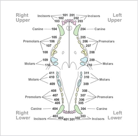 puppy teeth chart image gallery k 9 dental chart