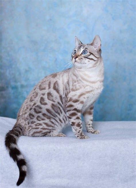 white bengal cat kittens sunshine bengals in canada bengal cats bengals