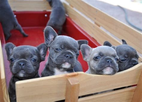 how many puppies in a litter how many bulldog puppies in a litter what the frenchie