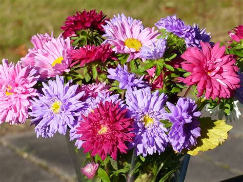 flowers aster colors 183 free photo on pixabay