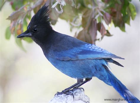 stellar jay animals birds pinterest