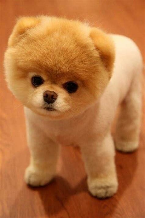 pomeranian with hair boo pomeranian how i will cut my s hair one day animales
