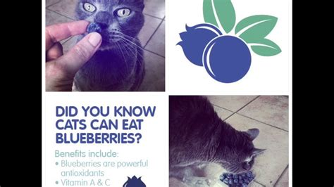 can my eat blueberries can my cat eat blueberries