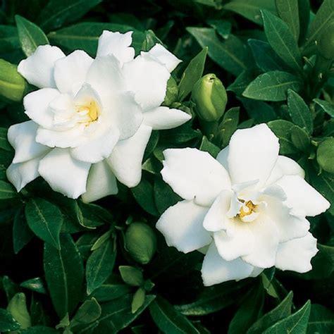 Gardenia by Gardenia Prostrata Gardenia Jasminoides