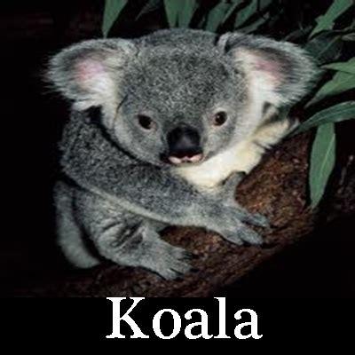 imagenes bellas de koalas im 225 genes koalas