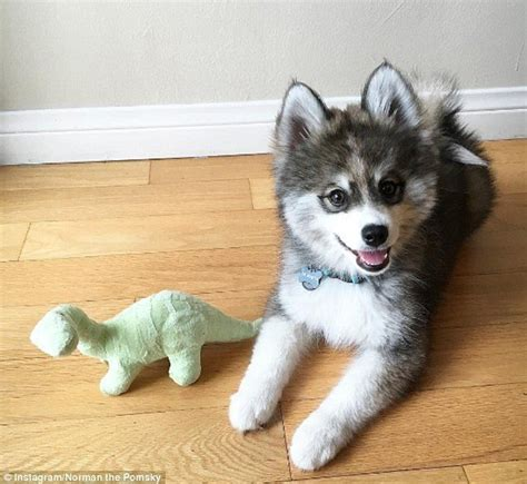 where can i get a pomeranian husky mix this puppy is a husky pomeranian mix can t get just how he is