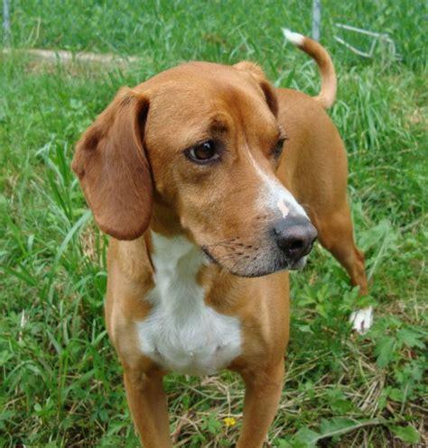 redbone hound redbone coonhound photos pictures redbone coonhounds page 5