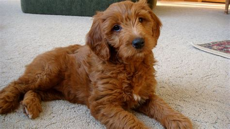 goldendoodle or golden retriever goldendoodle golden retriever poodle mix