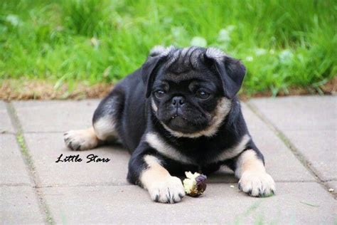 pug mascot i ve never seen a mixed color pug pictures