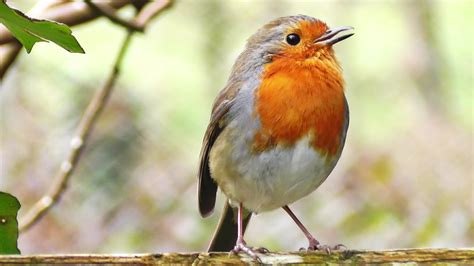robin birds chirping and singing beautiful bird sound