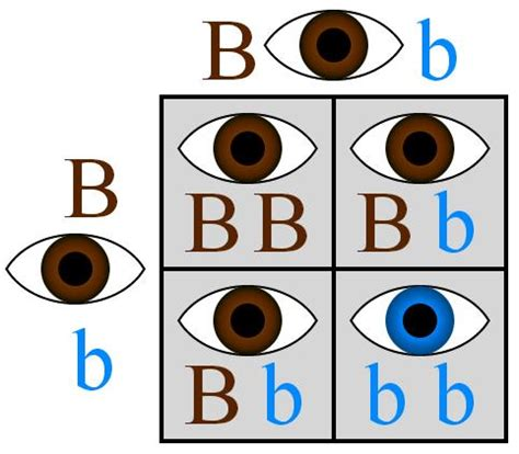 punnett square for eye color what are your opinions on this do you agree or