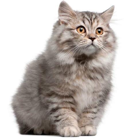 50  Most Beautiful Siberian Cats   Golfian.com