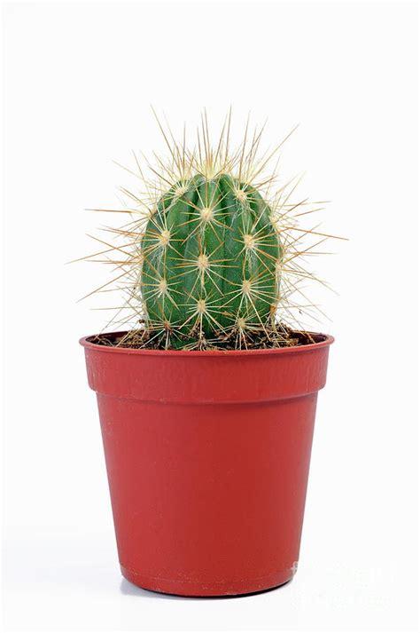 Mini Cactus mini cactus in pots photograph by sami sarkis
