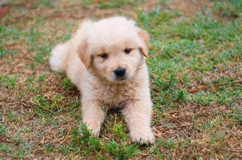 golden retriever golden retriever puppy running
