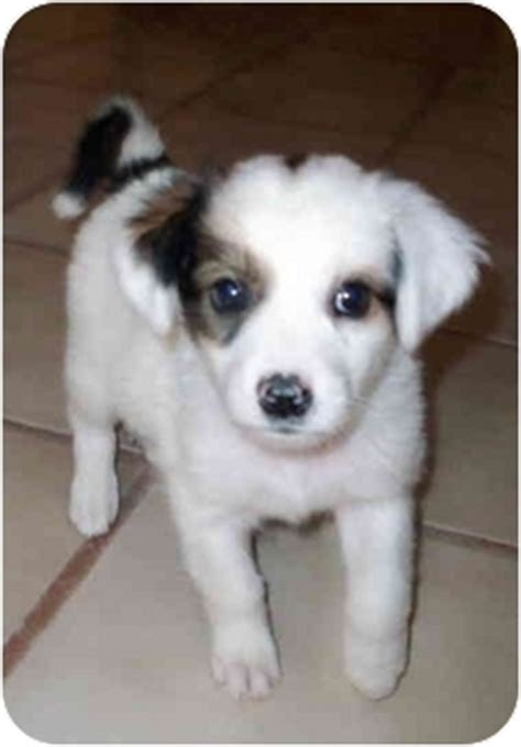adopt a albuquerque nubie adopted puppy albuquerque nm papillon mix