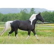Black And White Pinto Horse Pictures Color &amp