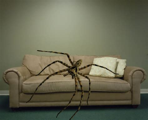 really big couch really big spider crashes on couch for 3 months