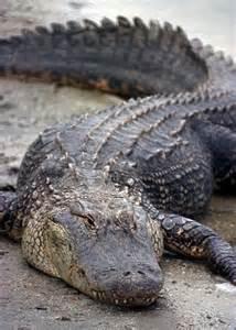 MFCAnimalShowcase - American Alligator