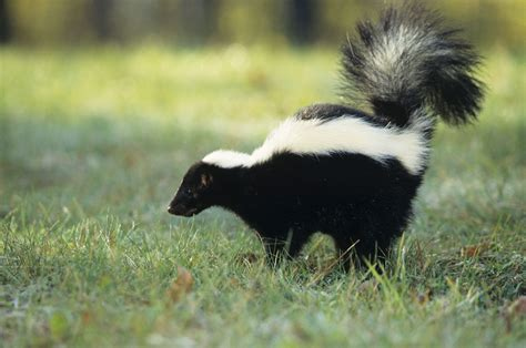 got sprayed by skunk what do i do if my pet or i get sprayed by a skunk