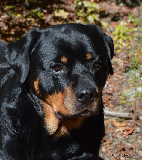 rottweiler puppies for sale in ms rottweiler on pets craigslist in mississippi dogs in our photo