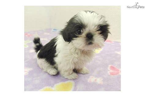 shih tzu puppy black and white black and white shih tzu www imgkid the image kid has it