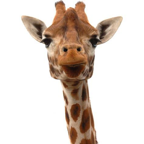 Giraffe Wall Sticker sickers t 234 te de girafe