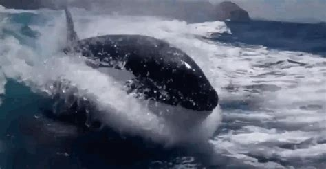 orca whale attacks fishing boat pod of orca whales chasing a speedboat business insider