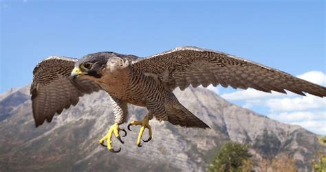 3 Feet Plan Peregrine Falcon Grand Canyon National Park U S